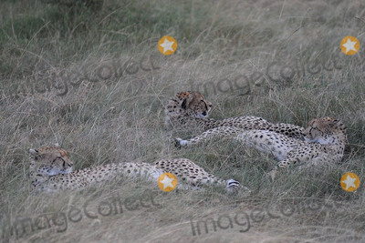 CHEETAH CUB Photo - March 6 2016 New York CityCheetah cubs in Maasai Mara National Reserve on March 6 2016 in KenyaCredit Kristin Callahan