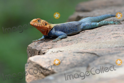 Agama Lizard Photo - February 27 2016 New York CityAgama Lizard seen in Amboseli National Park on February 27 2016 in KenyaCredit Kristin Callahan