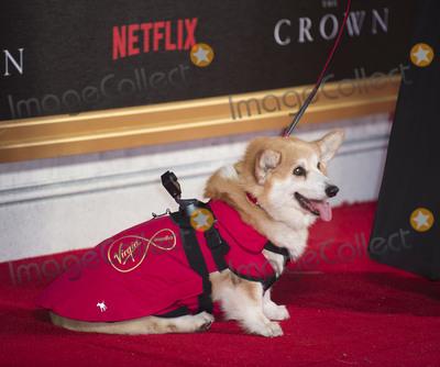 Corgi Dog Photo - London UK Corgi Dog at the World Premiere of new Netflix Original series The Crown at Odeon Leicester Square on November 1 2016 in London EnglandRef LMK386 -61210-021116Gary MitchellLandmark Media WWWLMKMEDIACOM